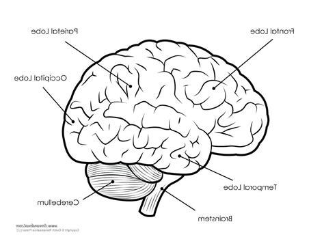brain diagram worksheet diagram label brain diagram worksheet