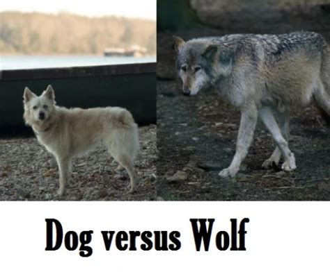 difference between wolves and dogs differences between dogs and wolves pethelpful