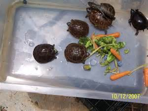 Rugs Augusta Ga Found Baby Turtles What Are They