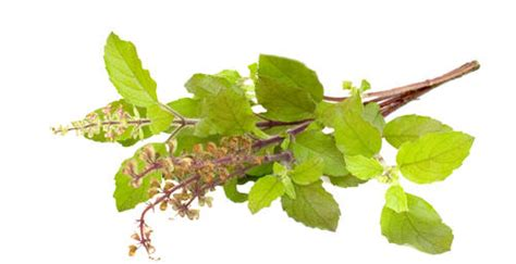 Tulsi Basil To Cure Skin Problems by Home Remedies For Yellow Teeth Page 2 Of 3 Top 10 Home
