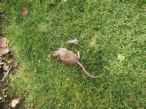 Rats In Backyard by Rats In The Henhouse Hortophile New Garden