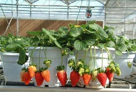 Bibit Buah Naga Mini tanaman buah buahan dalam pot bibit