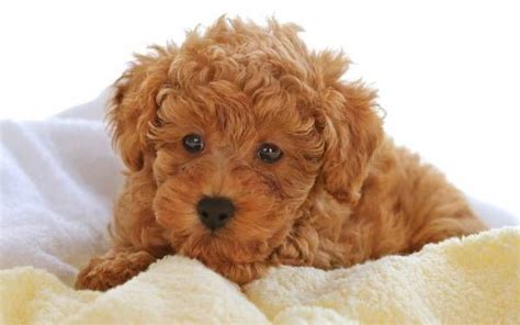 Types Of Dogs With Curly Hair by Curly Hair Breeds Enjoy The Things