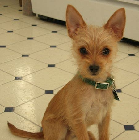 yorkie pomeranian mix hair cuts 15 best images about chihuahua yorkie cross on pinterest