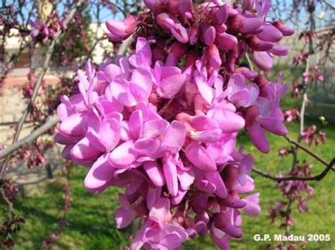 fiori albero di giuda albero di giuda il trifoglio