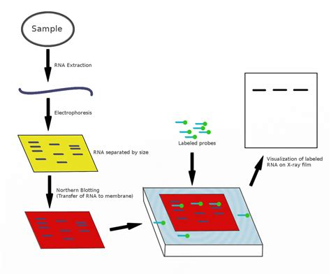 pattern analysis en francais northern blot wikipedia