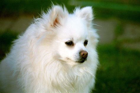 german spitz pomeranian mix small breed names