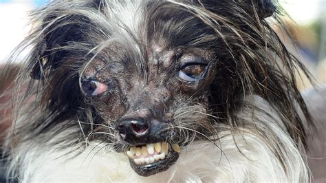 peanut the world s ugliest pooch named world s ugliest