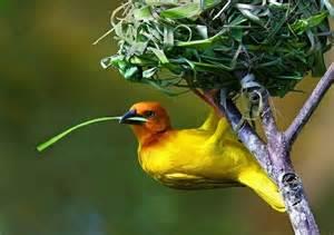 weaver bird beautiful golden palm weaver photography