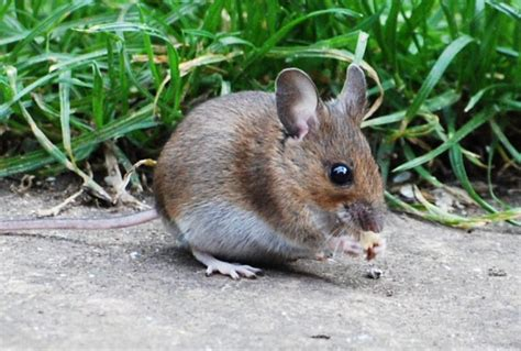 Garden Mouse rambles with a wood mouse in garden