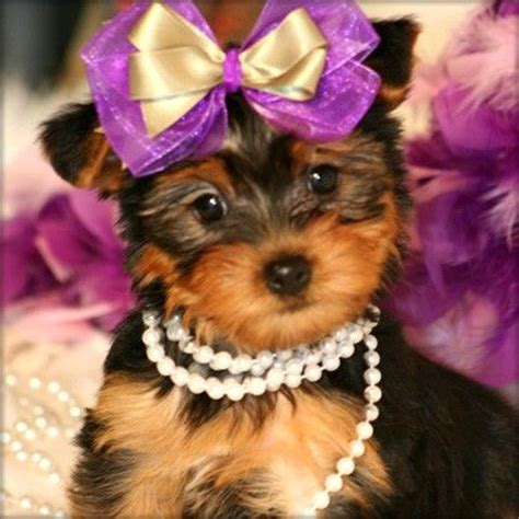 teapot yorkie free teacup yorkies two teacup yorkie puppies for free adoption for sale in abram