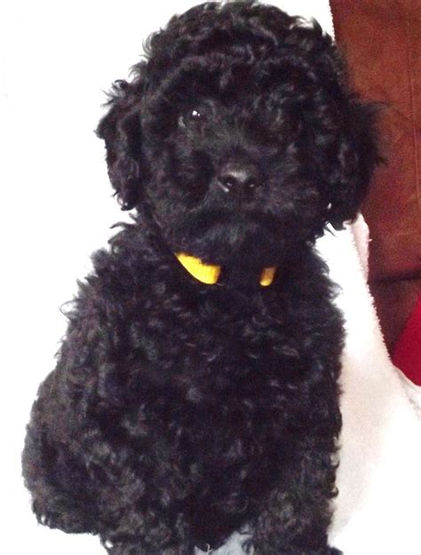 black poodle puppy handsome black kc pedigree miniature poodle puppy romford essex pets4homes