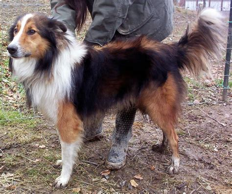 scotch collie puppies photo gallery of modern time scotch collies of note