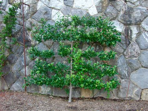 grow dwarf fruit trees against a wall fruit trees