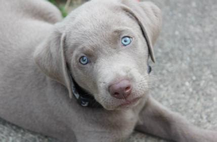 silver lab puppies for sale mn our and there silver charcoal fox labrador puppy pictures