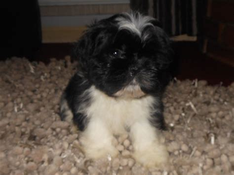 shih tzu imperial type shih tzu imperial wolverhton west midlands pets4homes
