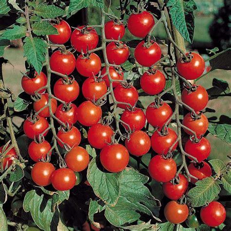 pomodoro coltivazione in vaso coltivazione pomodori coltivazione ortaggi come