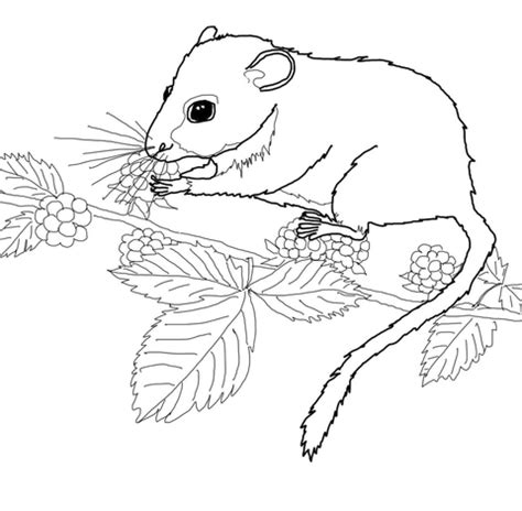 In Dormouse Drawing by 301 Moved Permanently