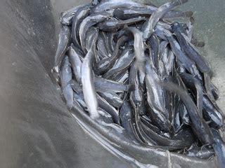 Bibit Lele Ukuran 7 9 gambar bibit lele sangkuriang naren catfish farm