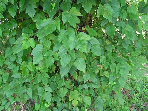 poison ivy oak and sumac information center www poison ivy in florida photos of poison ivy taken on auto