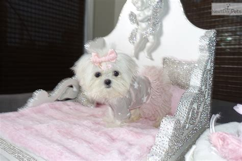 maltese puppies for sale near me maltese puppy for sale near new york city new york aebdc728 1211