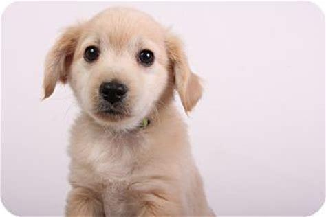 miniature pinscher golden retriever mix hondo adopted puppy indianapolis in miniature pinscher golden retriever mix