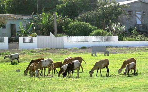how to a to herd sheep caribbean island of nevis fab senior travel