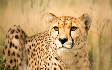 is a jaguar faster than a cheetah my cousin the cheetah evolution made accelerate