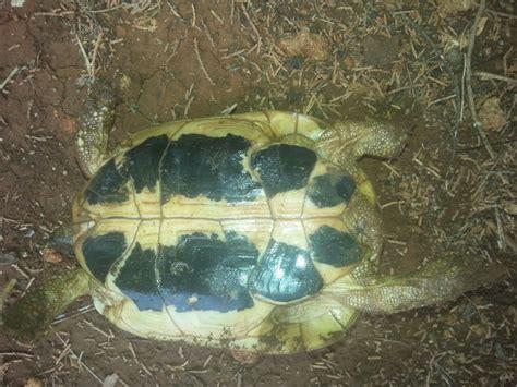 corazza pavia tartaruga con corazza danneggiata