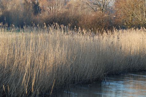 a picture of a file reed beds river nadder at harnham jpg