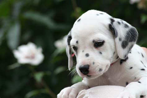 puppy dalmatian dalmatian puppy photo and wallpaper beautiful dalmatian puppy pictures