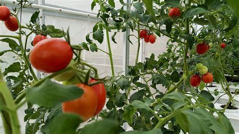 Pengganti Sekam Bakar Untuk Media Tanam tomat hidroponik