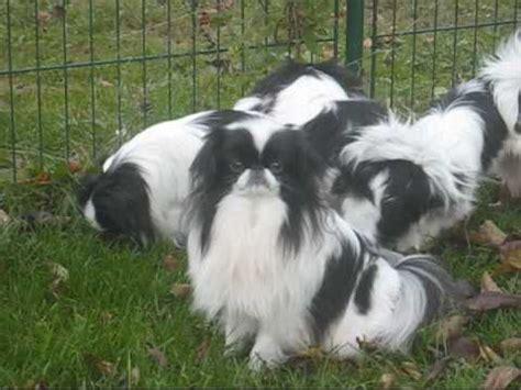 puppies for sale auburn al japanese chin puppies dogs for sale in montgomery alabama al 19breeders hoover