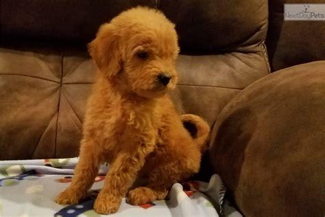 goldendoodle puppy for sale missouri goldendoodle puppy for sale near kansas city