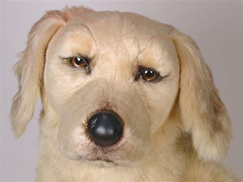golden retriever details golden retriever 2201 golden retrievers dogs