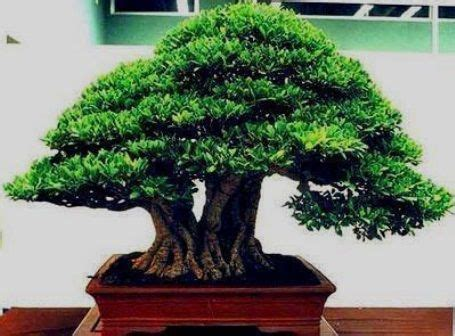 bonsai images  pinterest bonsai bonsai trees