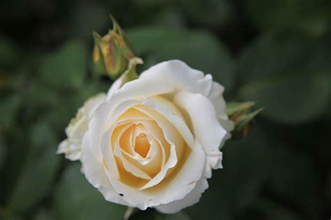 rosa frederyk chopin wikimedia commons
