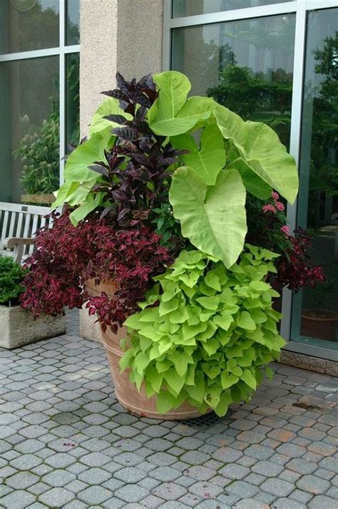 25 best ideas about sweet potato vines on