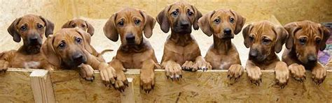 picking a puppy from a litter how to the best puppy of the litter choosing