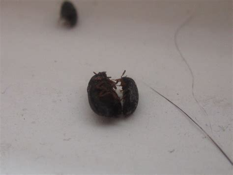 black bed bug ask an expert extension