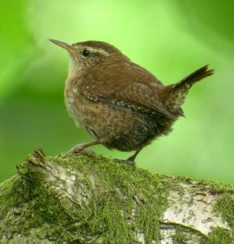 super animal wren