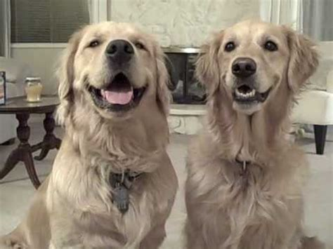 golden retriever autism golden retrievers