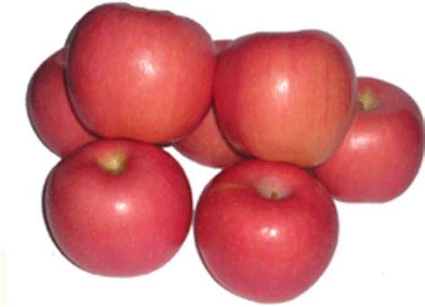 apel fuji benarkah apel dapat menyembuhkan batu empedu widawati18