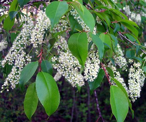 rosaceae prunus serotina wild black cherry notice fine