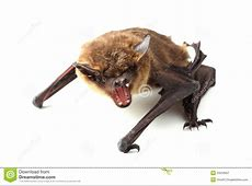Screaming Bat On White Royalty Free Stock Photography ... Western Diamondback Rattlesnake Head
