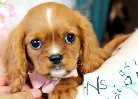 king charles cavalier puppies price cavalier king charles puppies cavalier king charles dogs for sale dogs for sale