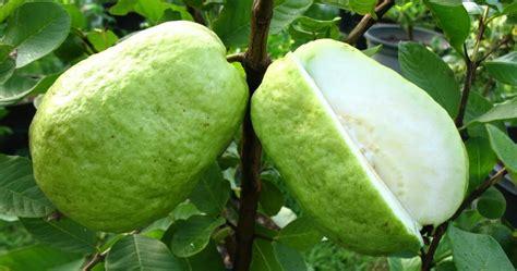 Biji Buah Jambu Bangkok Putih mewarnai buah jambu mewarnai gambar