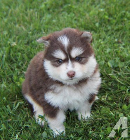 puppies for sale tallahassee fl pomsky puppies for sale in tallahassee florida classified americanlisted