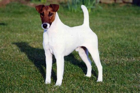 smooth fox terrier puppies for sale smooth fox terrier puppies for sale from reputable breeders