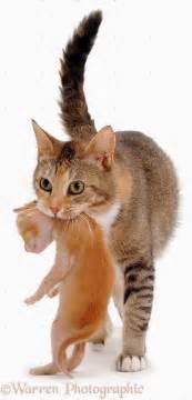 maman chat qui porte chaton photo de chat